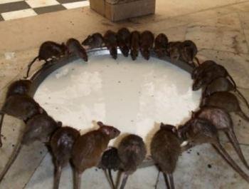 黄冈高捷公司告诉你灭老鼠以后改怎么办