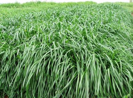 本公司批发的蝴蝶兰草种的养殖方法