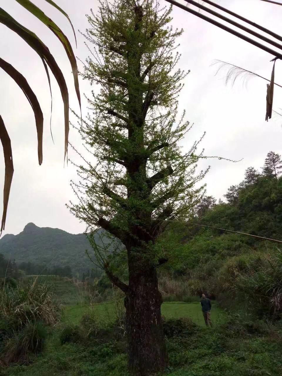 大桂花树苗木的修剪方法