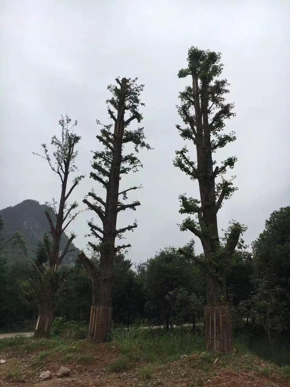 盆栽大桂花树苗木种植技术
