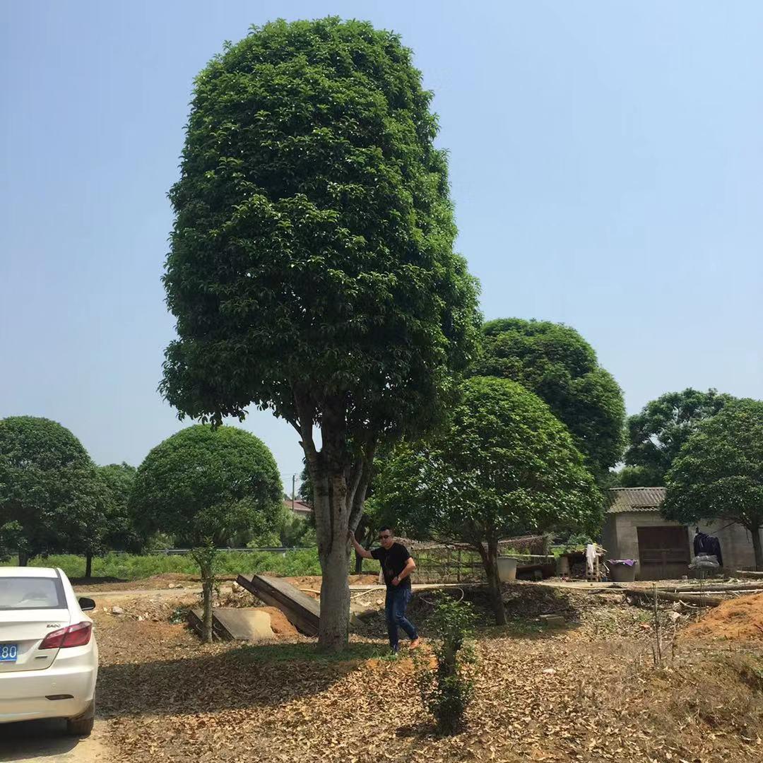大桂花树苗木移植如何提高成活率
