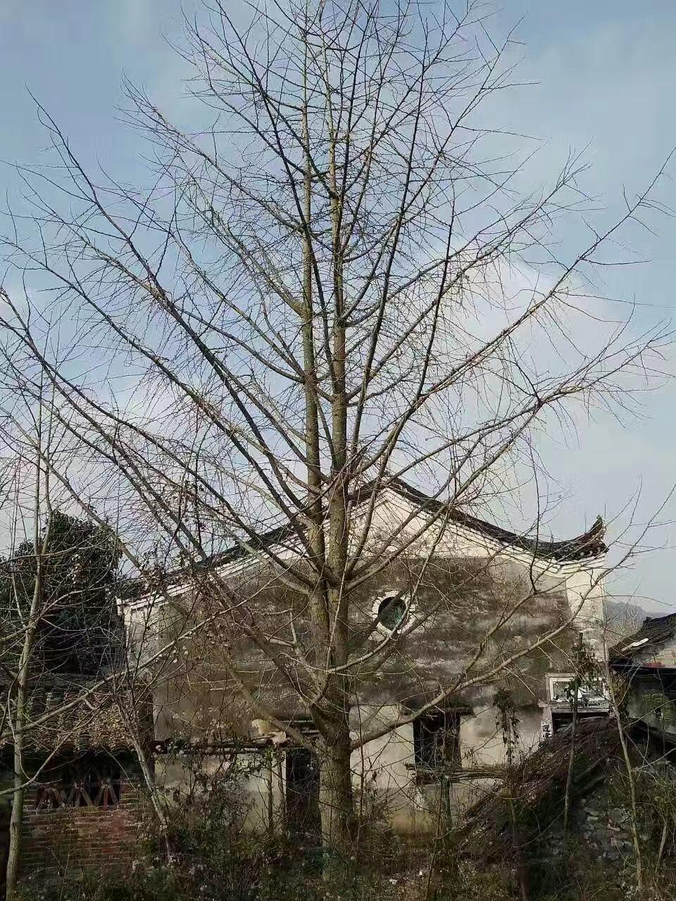 大桂花树苗木起苗时的注意