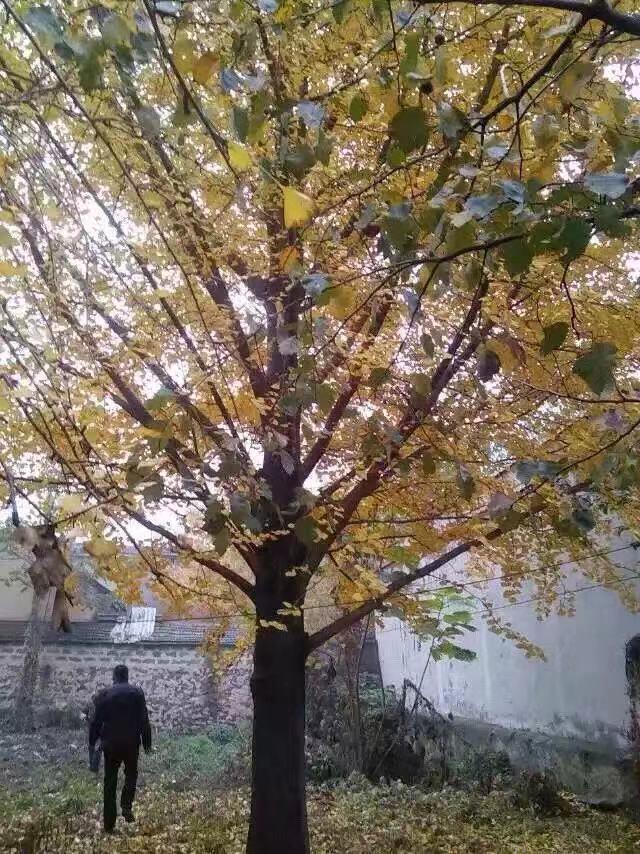 种植大桂花树苗木的五点基本知识