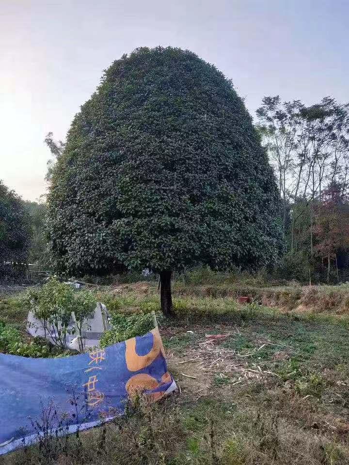 大桂花树苗木栽植及后期管理