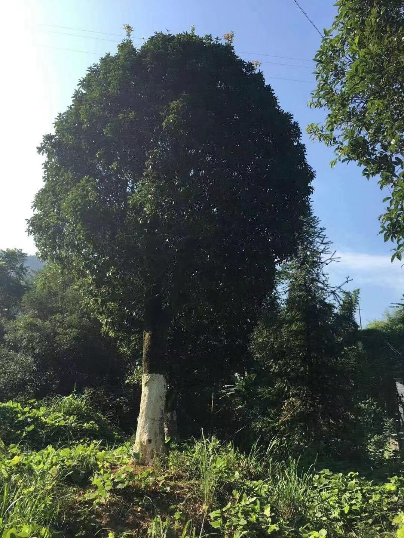 大桂花树苗木移栽前应该做哪些准备工作