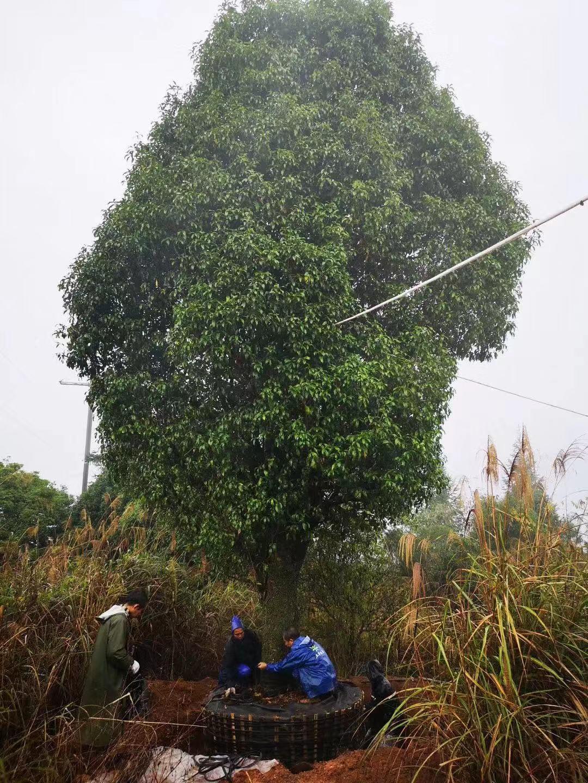 种植大桂花树苗木的优势有哪些