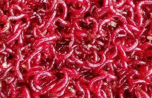 常见的三种红线虫养殖方法