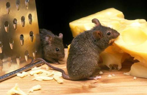 中山灭老鼠