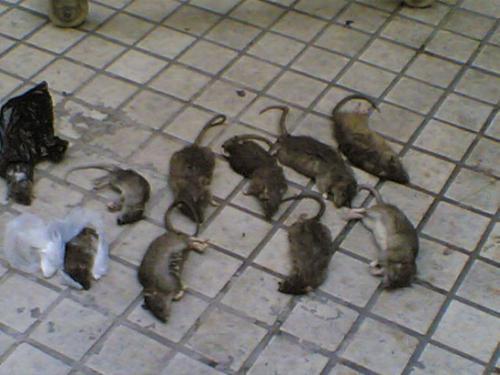 中山灭老鼠公司