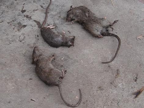 中山灭鼠小技巧