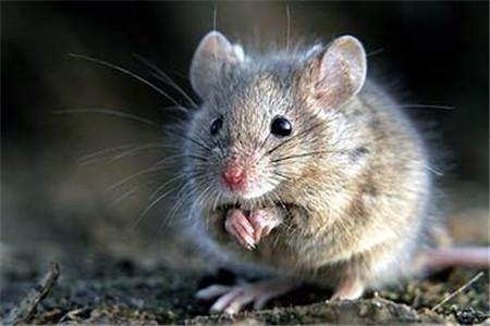 中山专业灭老鼠公司有关鼠类常识