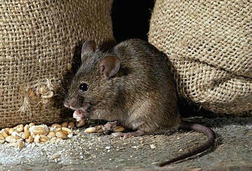 中山专业灭老鼠电话