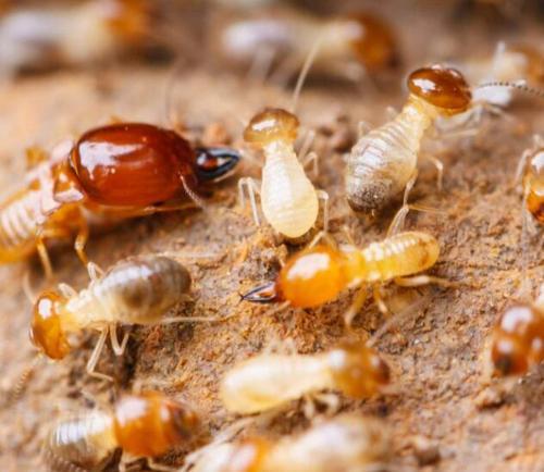 柳州专业除白蚁