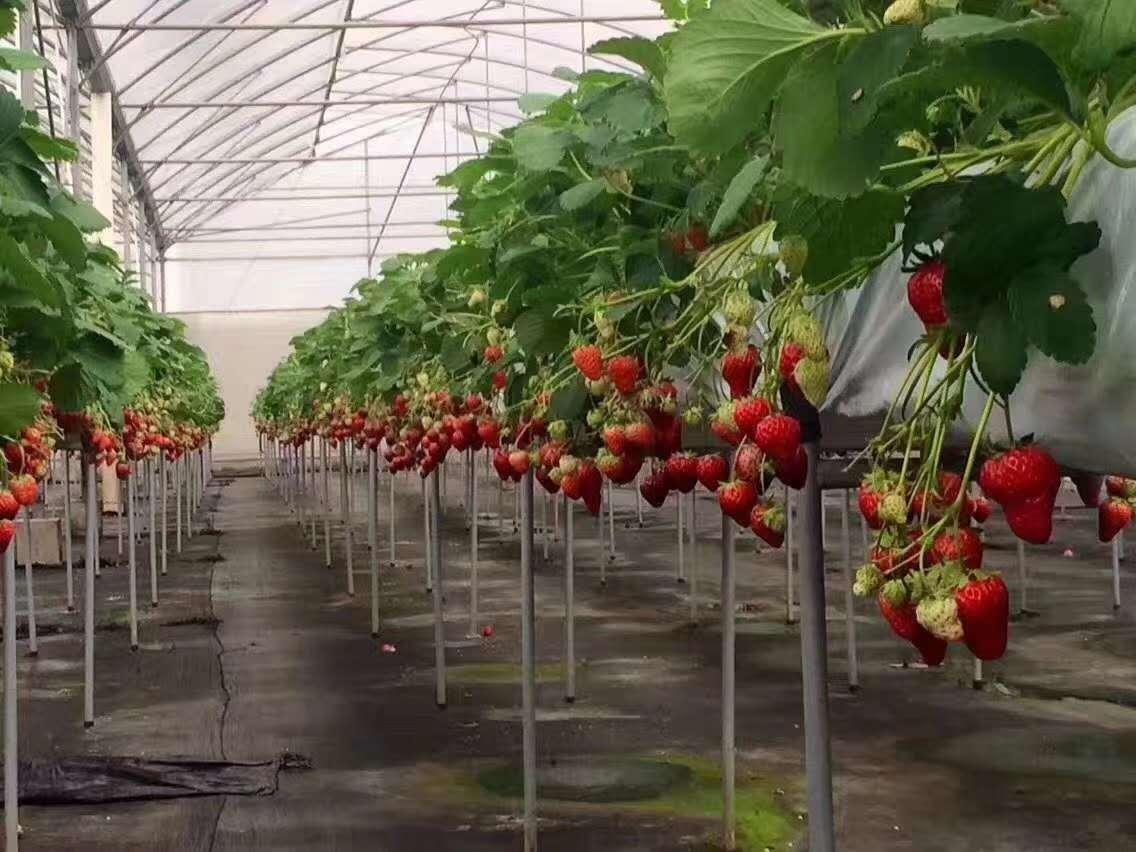 刚买回来的草莓苗一定要记得处理幼苗