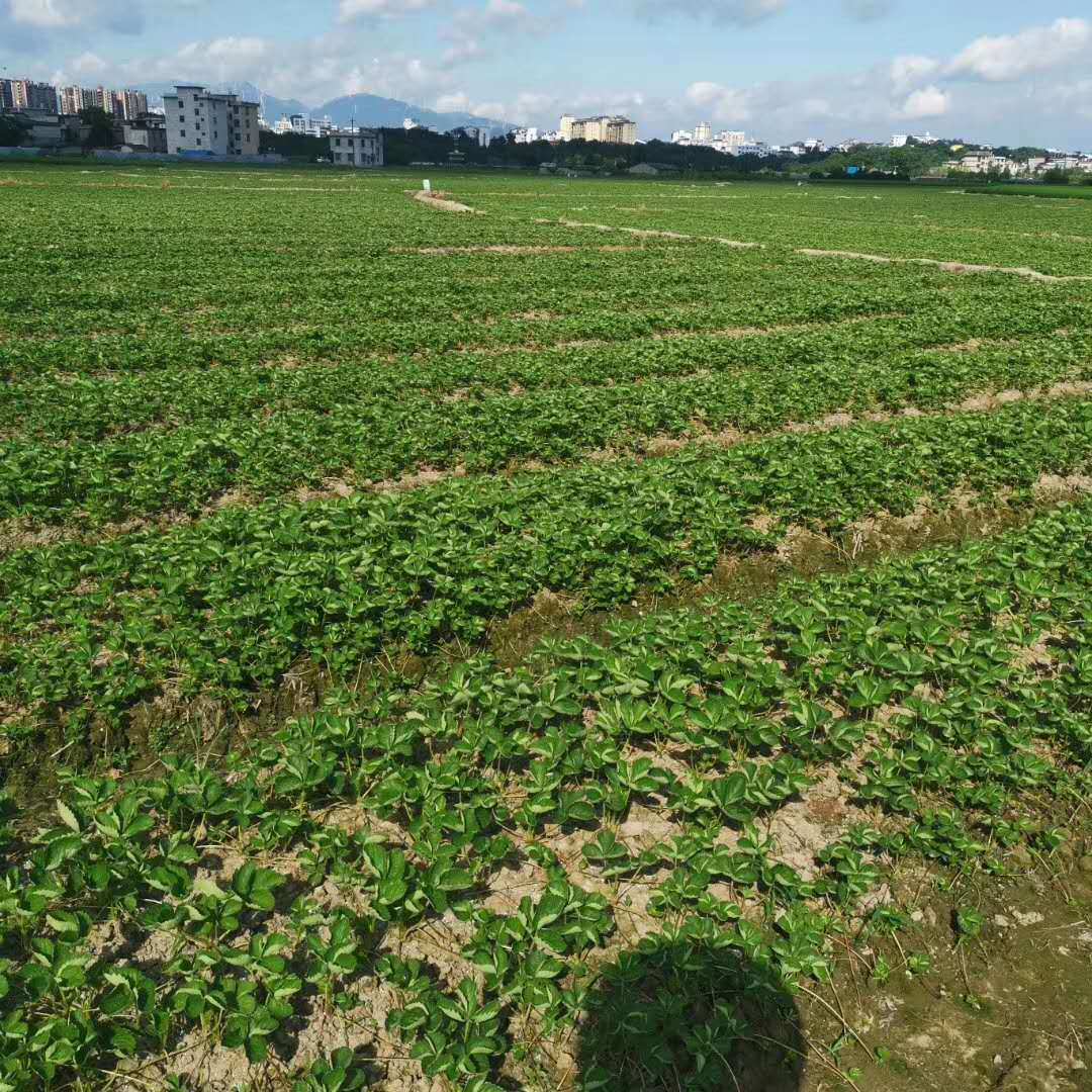 关于草莓苗的种植深度知识