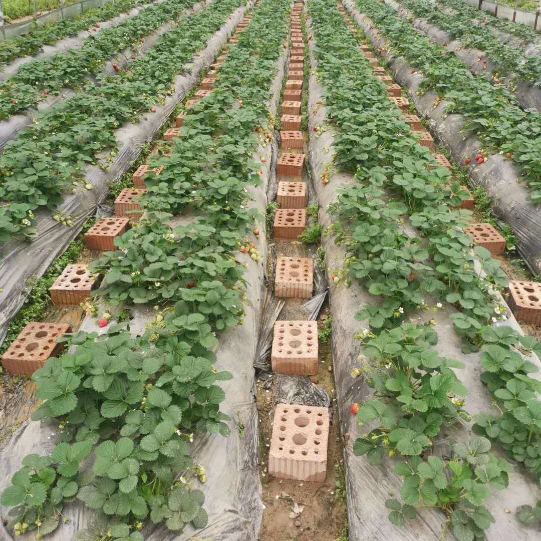 栽植成活后草莓苗的肥水管理