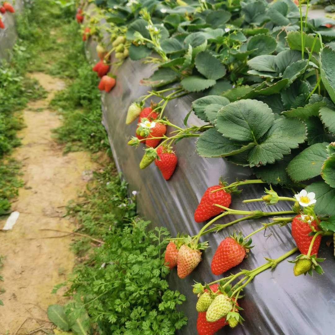 草莓苗栽植成活后的植株管理