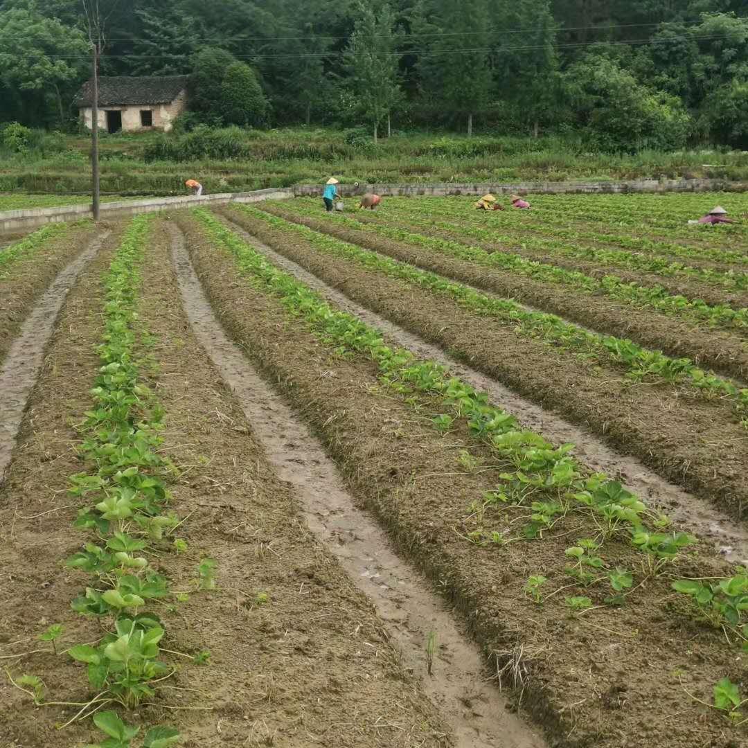 草莓苗买回来种植以后的病虫害管理