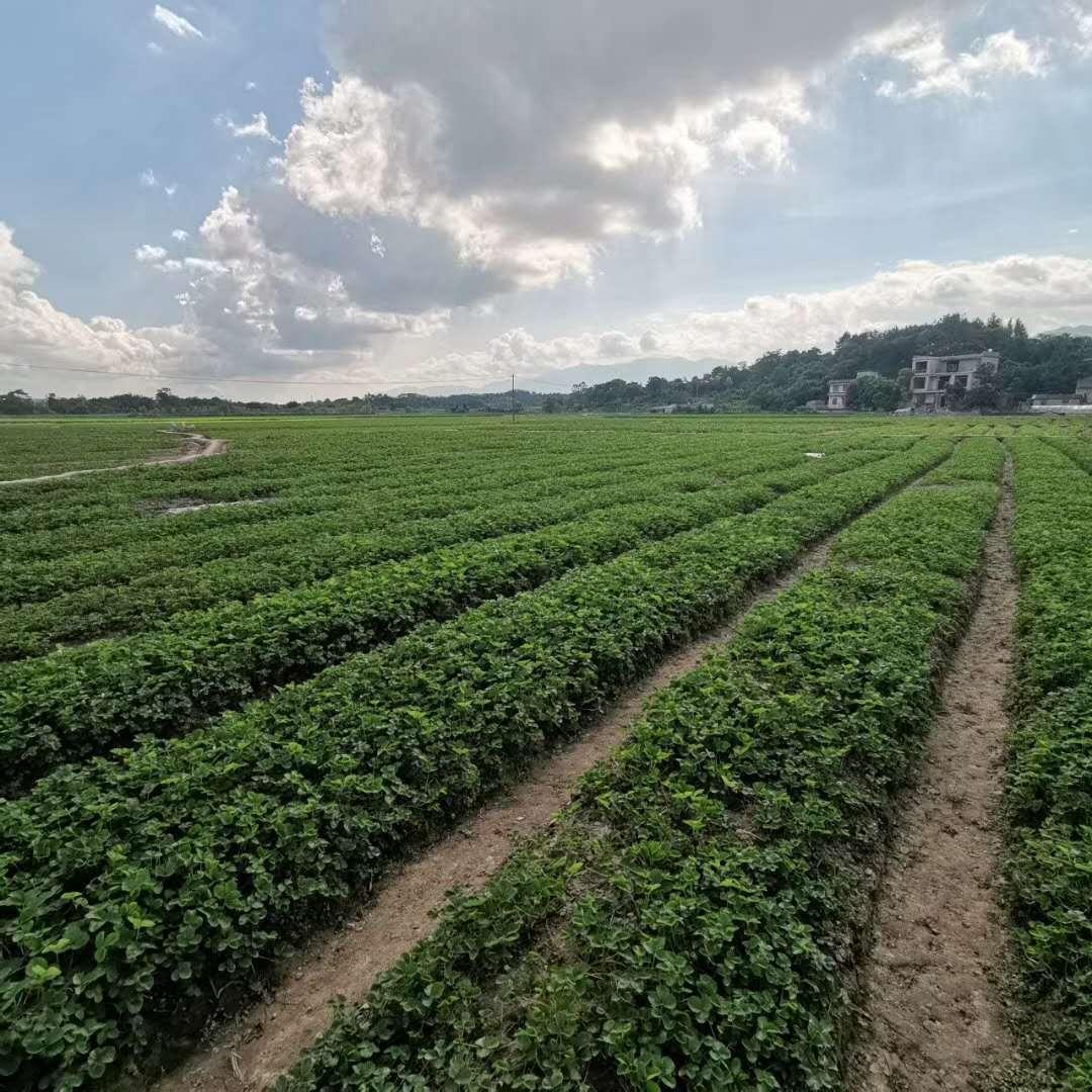草莓苗移植以后一定要注意肥害产生