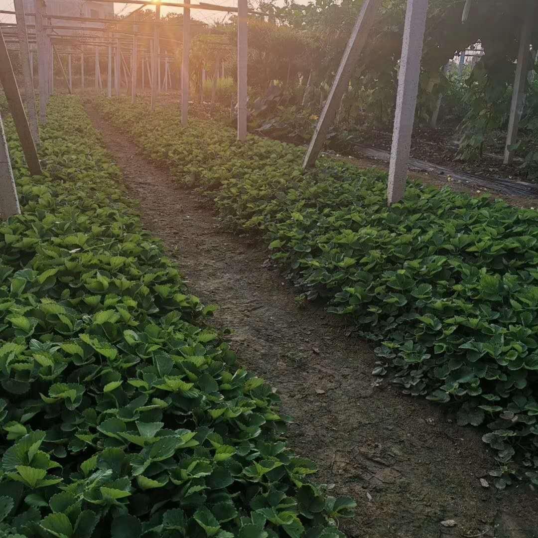 草莓苗移植以后一定要注意的药害问题