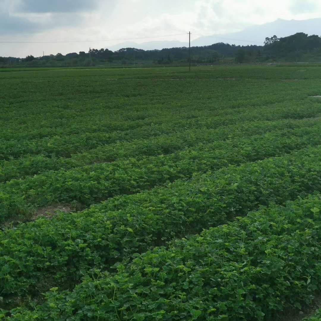 草莓苗移植后出现沤根怎么办