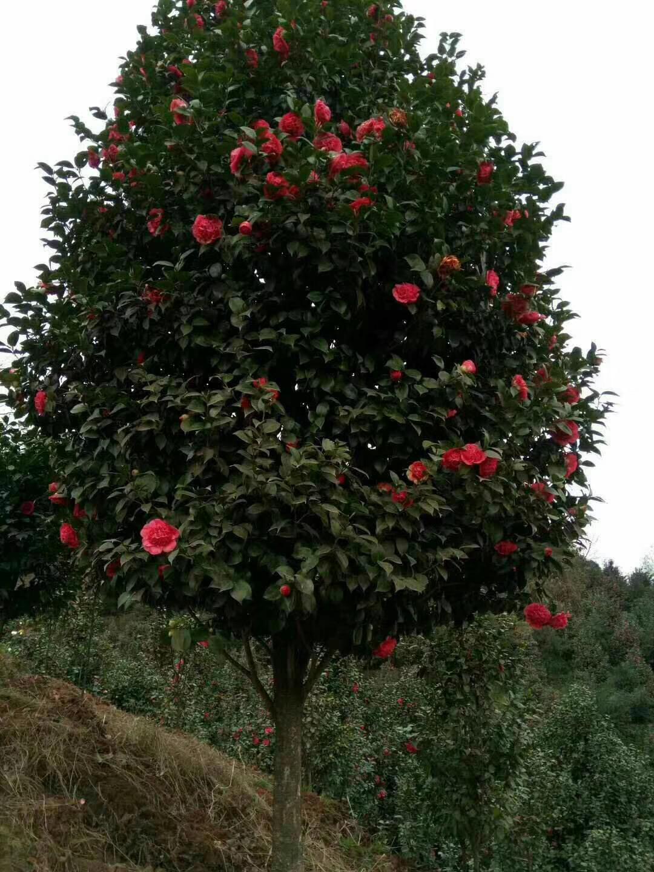 四川茶花种植基地