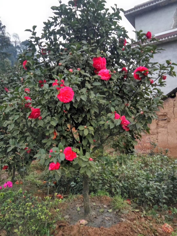 四川茶花专业种植基地