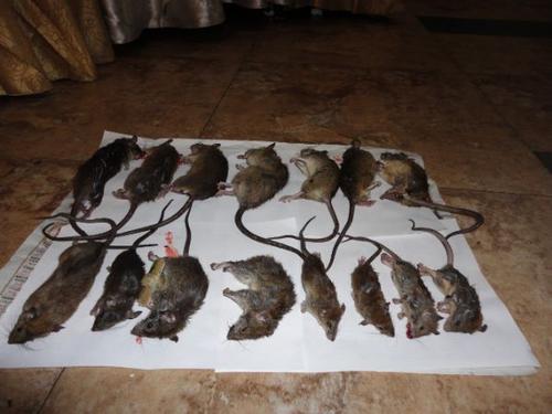 西安家中老鼠防治