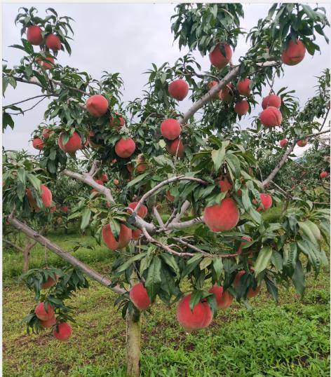 桃树苗新品种-丽江雪桃