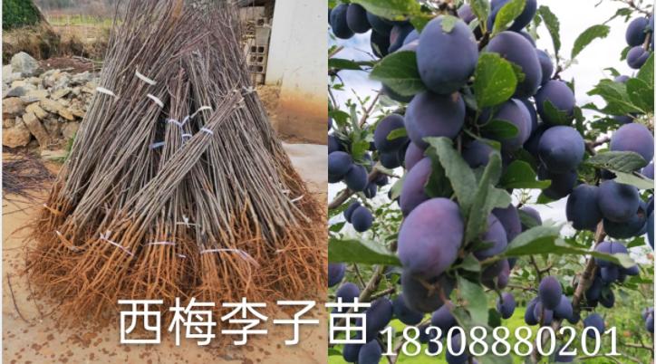 丽江春华育苗基地品种繁多